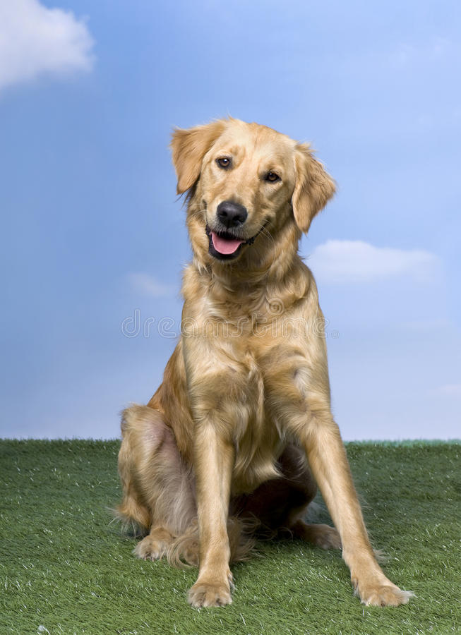 Download Golden Retriever Sitting On The Grass (1 Year Old) Stock Photo - Image of mouth, gundog: 10049202