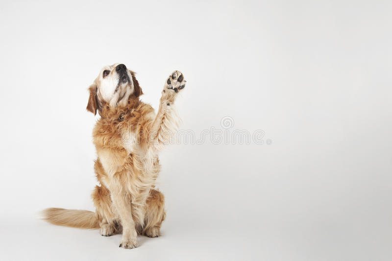 Golden retriever is sittng and greeting royalty free stock images