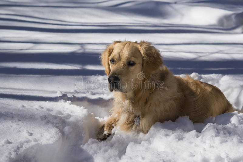 Golden retriever in sneeuw stock fotografie