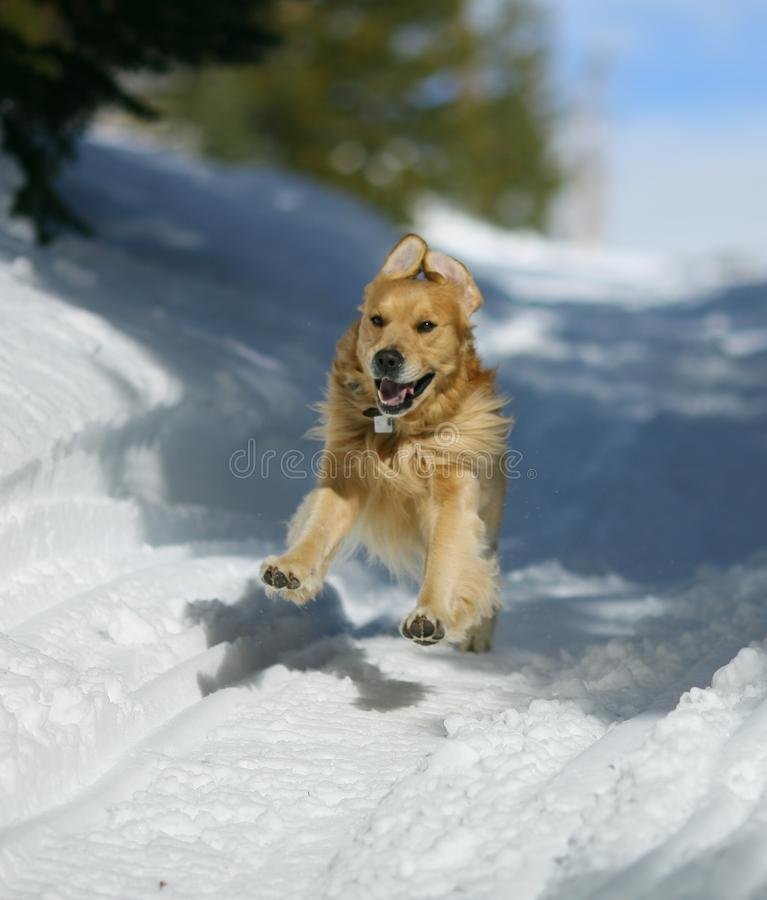 Golden Retriever In The Snow royalty free stock photography