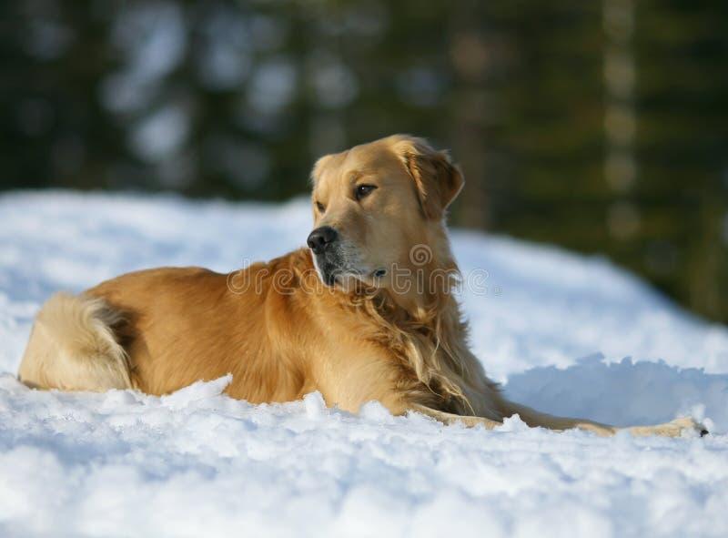 Golden Retriever In The Snow royalty free stock photos