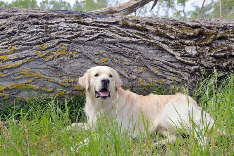 Golden retriever som sitter i skog royaltyfria foton