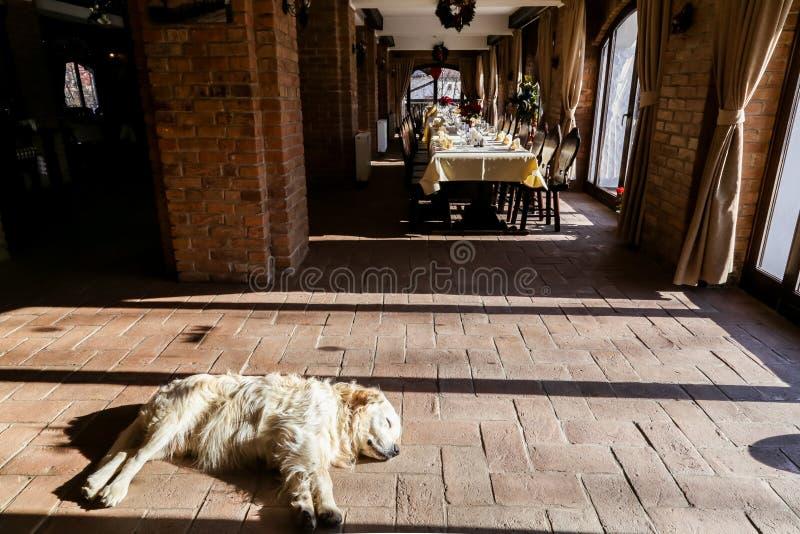 Golden retriever som sover nära matsalen arkivbilder