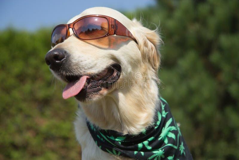Golden retriever sonriente con las gafas de sol foto de archivo