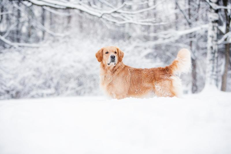 Golden retriever stoi w śniegu w zimie obraz stock