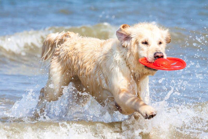 Golden retriever am Strand lizenzfreies stockfoto