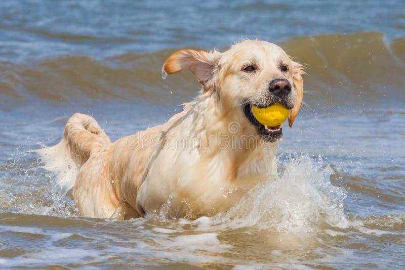 Golden retriever am Strand stockbilder