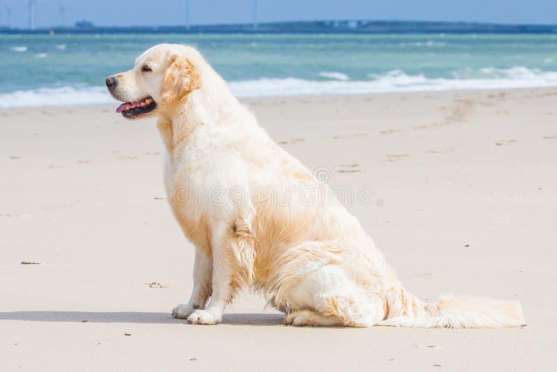 Golden retriever am Strand stockbild
