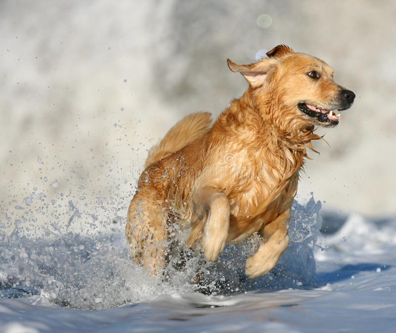 Golden Retriever at in the surf at the beach. royalty free stock images
