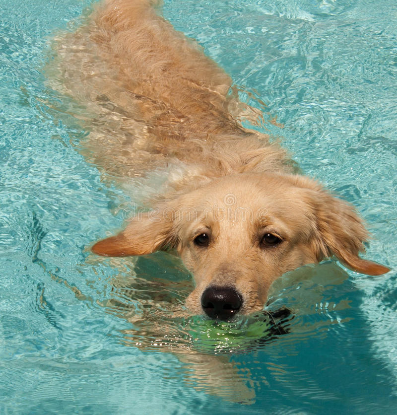 Free Golden Retriever Swimming 2 Stock Images - 15100194