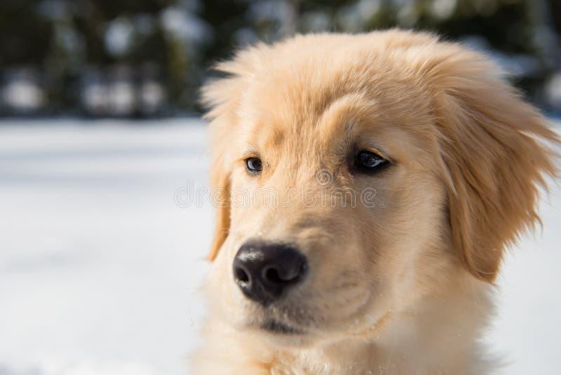 Golden Retriever szczeniaka portreta zimy śnieg obraz royalty free