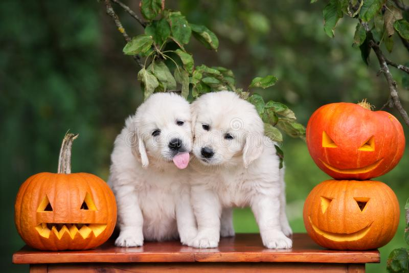 Golden retriever szczeniaki z Halloweenowymi baniami fotografia royalty free