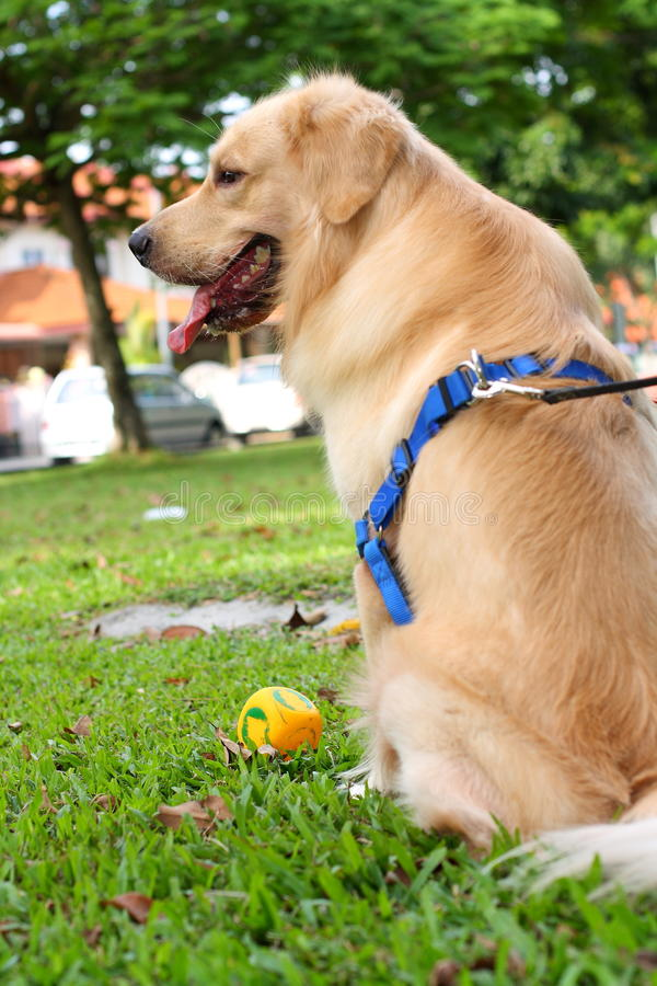 Download Golden Retriever with Toy stock photo. Image of isolated - 14336262