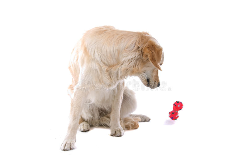Golden Retriever With Toy Royalty Free Stock Photo