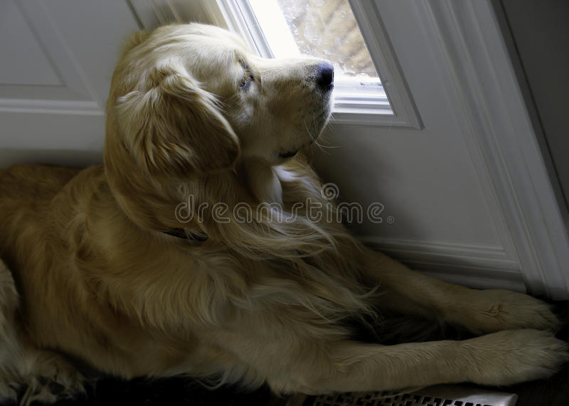 Golden retriever - Trennungs-Angst lizenzfreies stockbild