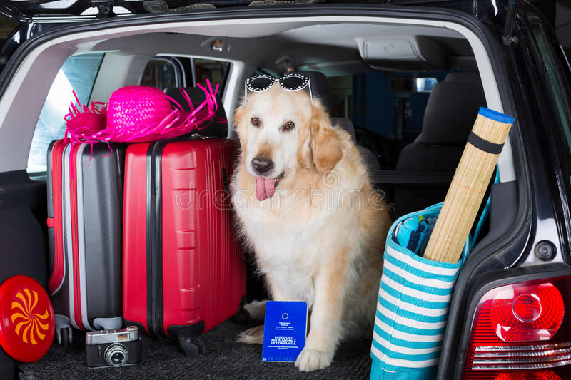 Golden Retriever Trip. Golden Retriever in the boot of the car ready to leave home stock photo