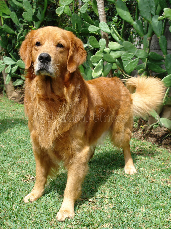 Golden retriever up royalty free stock photography