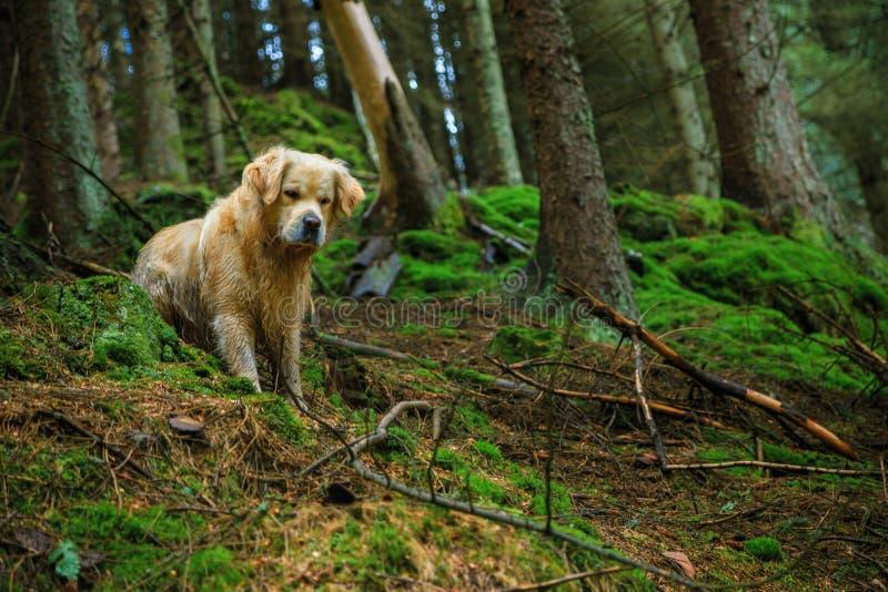 Golden retriever w dzikim fotografia stock