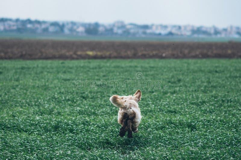 Golden Retriever W The Field fotografia stock