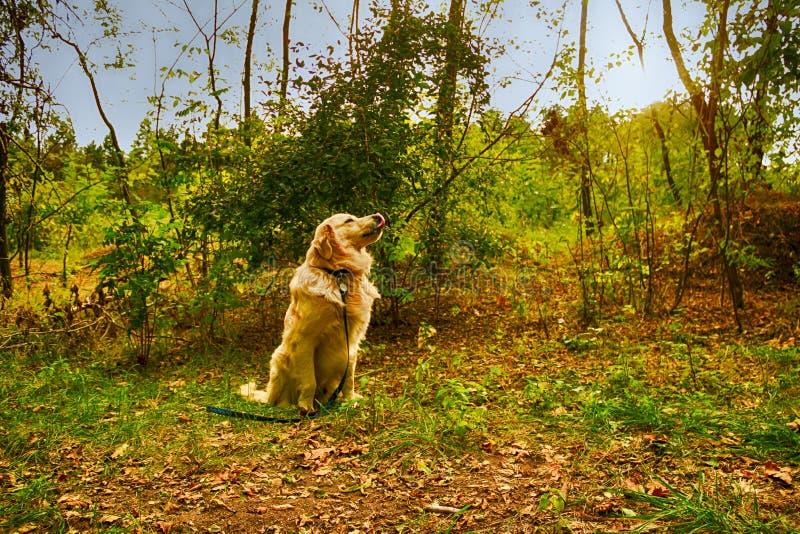 Golden retriever w lesie fotografia stock