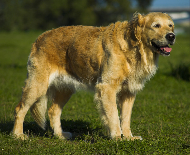Golden Retriever Waiting For Command royalty free stock photos