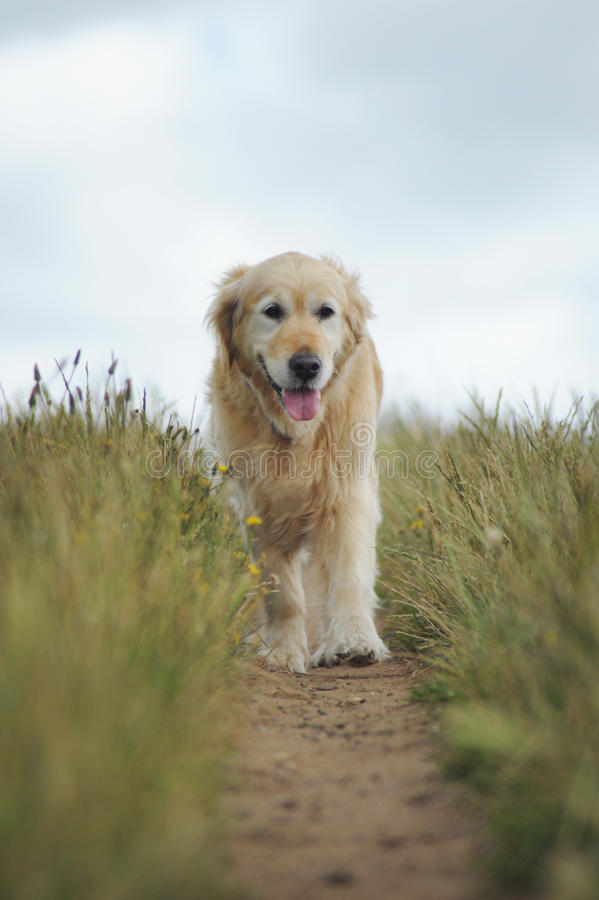 Golden retriever on walk royalty free stock photography