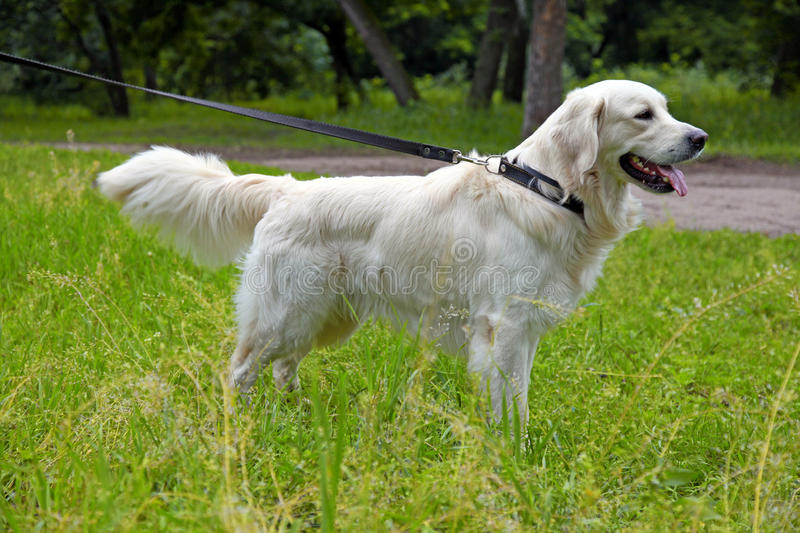 Golden Retriever On The Walk Royalty Free Stock Images