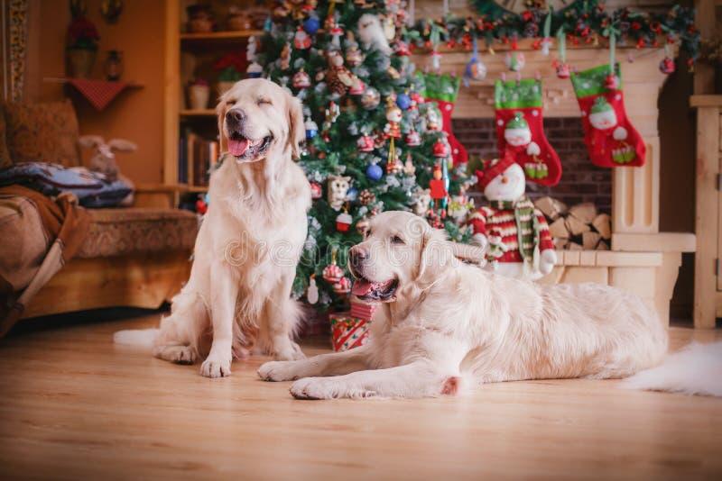 Golden retriever, Weihnachten und neues Jahr stockfoto