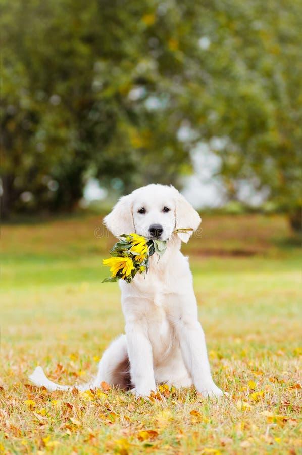 Golden retriever-Welpe, der einen Blumenblumenstrauß hält lizenzfreies stockfoto