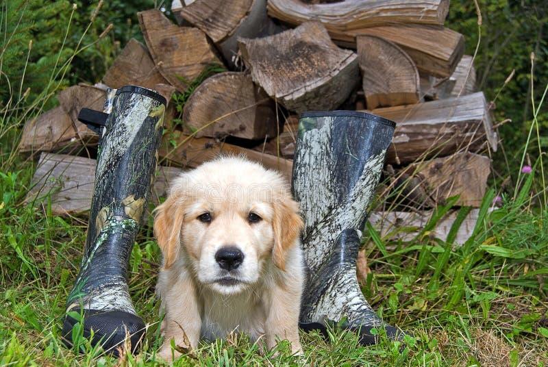 Golden retriever-Welpe mit Stiefeln lizenzfreie stockfotografie