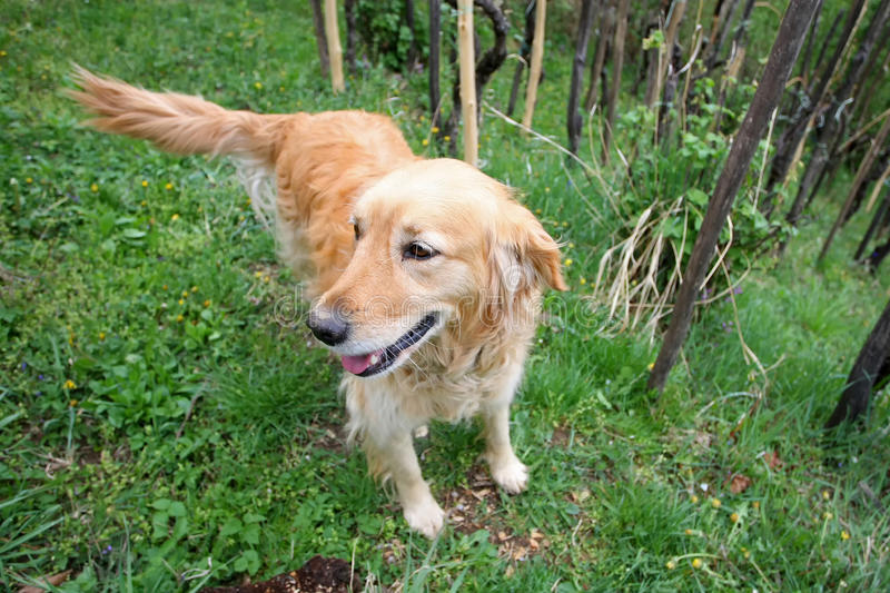 Golden retriever in woods royalty free stock photos