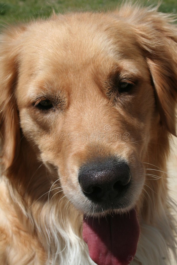 golden retrievera fotografia royalty free