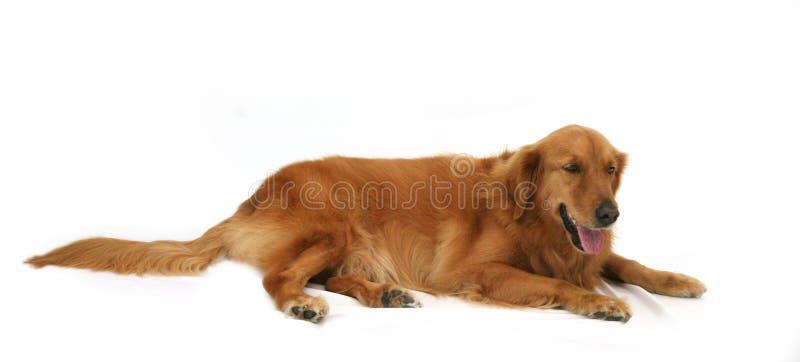 golden retrievera zdjęcie royalty free