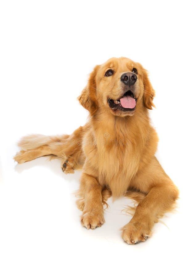 Golden retrieverhond stock afbeeldingen