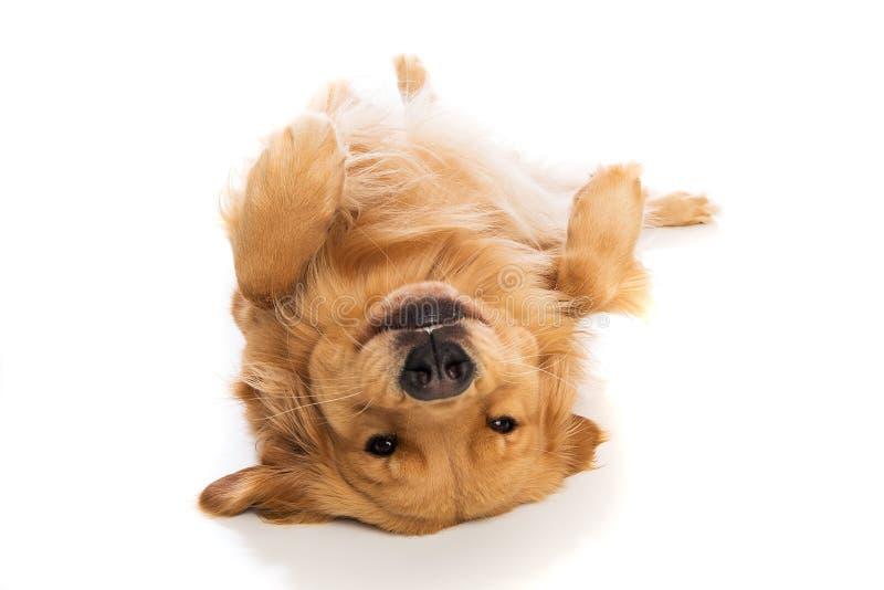 Golden retrieverhond die op zijn rug leggen stock fotografie