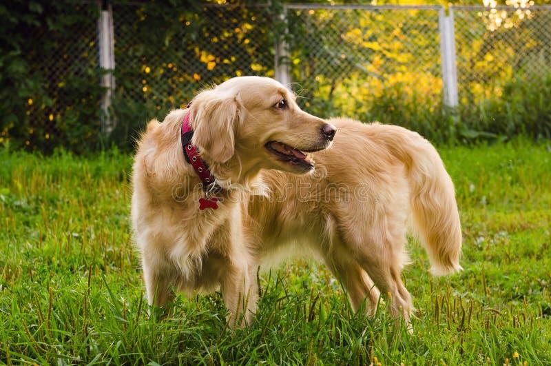 Golden retrieverhond die zich op aard bevinden royalty-vrije stock afbeelding
