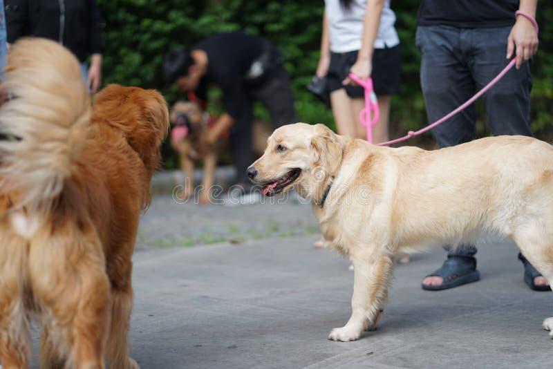 Golden retrieverhond die zij aan zij met zijn eigenaar lopen stock afbeelding