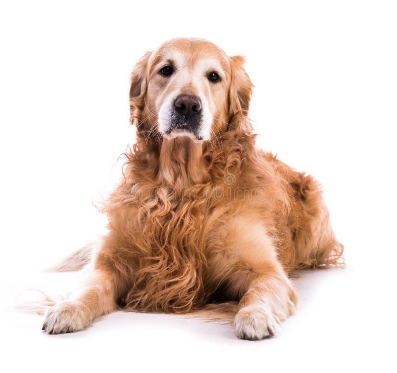 Golden retrieverhond het bepalen royalty-vrije stock afbeelding