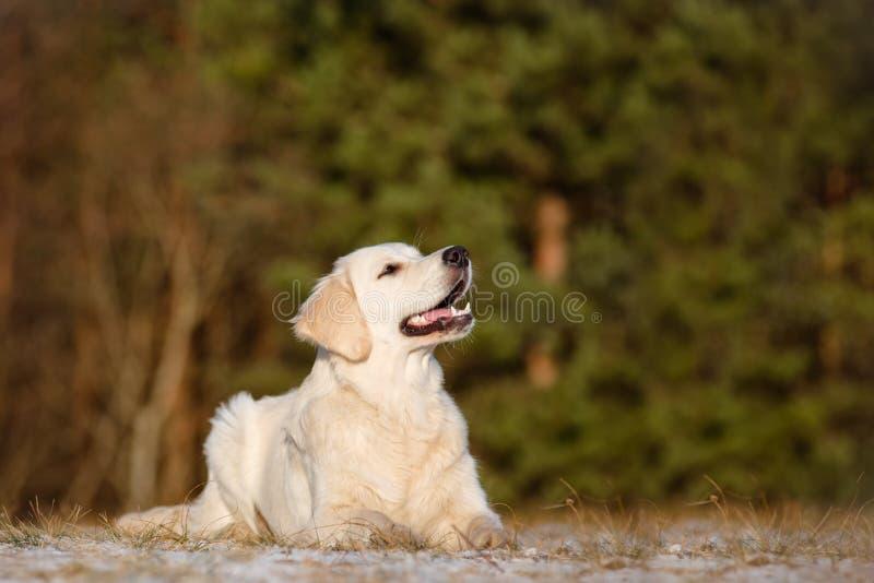 Golden retrieverhond in openlucht stock foto