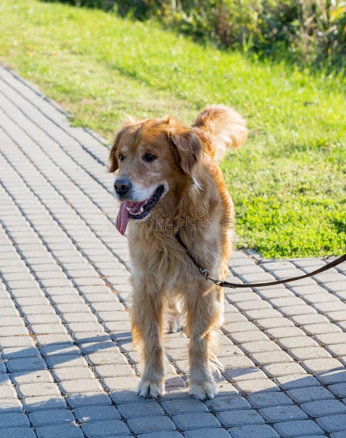 Golden retrieverhond openlucht lopen stock foto