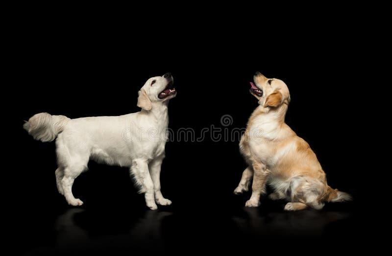 Golden retrieverhonden die over een zwarte achtergrond plaatsen royalty-vrije stock afbeelding