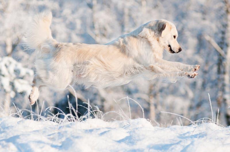 Golden retrieverhund, der in den Schnee springt lizenzfreies stockbild
