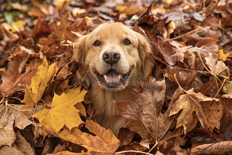 Golden retrieverhund i en hög av nedgångsidor royaltyfria bilder
