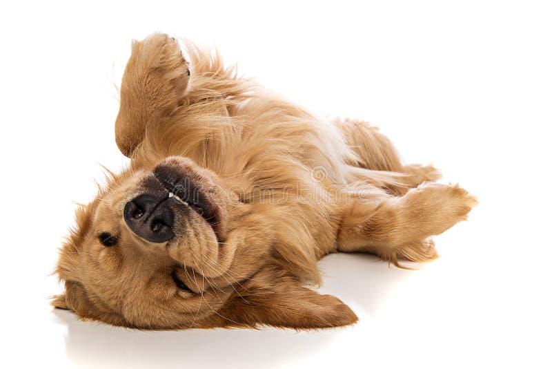 Golden retrieverhund på hans baksida fotografering för bildbyråer