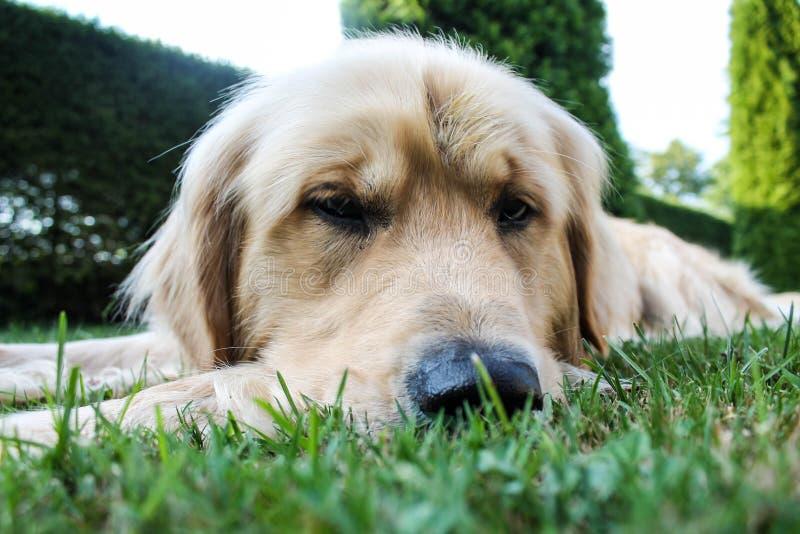Golden retrieverhund som sover i husträdgård royaltyfria bilder