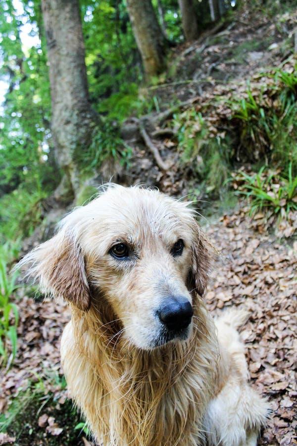 Golden retrieverhund som spelar i en bergskog royaltyfri fotografi