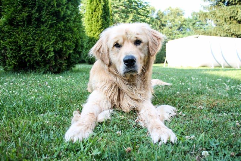 Golden retrieverhund som spelar i en trädgård royaltyfria bilder