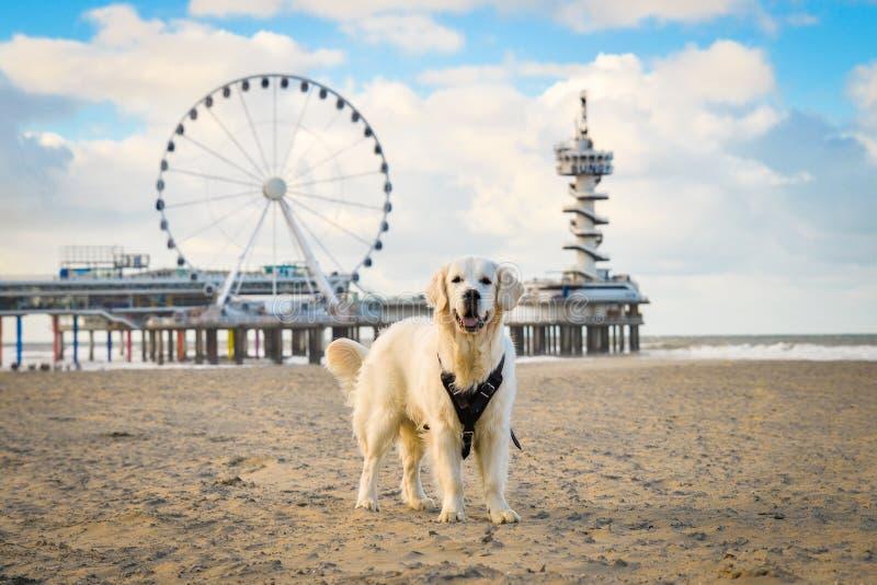 Golden retrieverhundanseende på den Scheveningen stranden arkivbilder