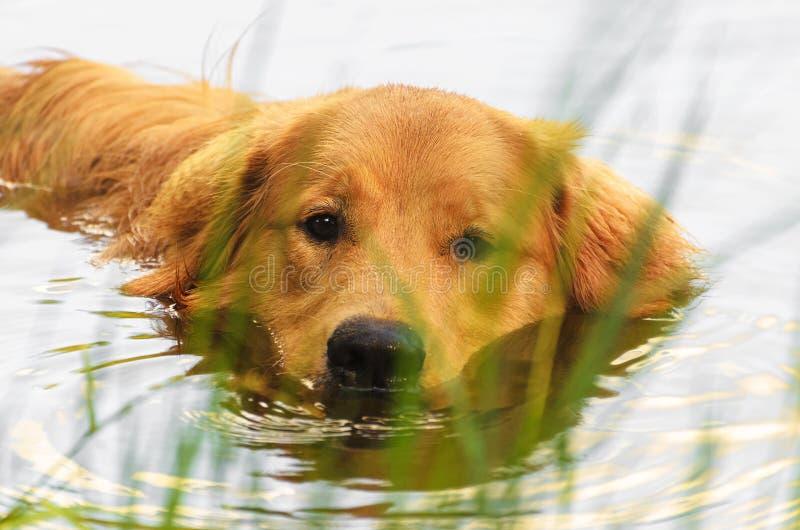 Golden retrieverhundsimning på en sjö royaltyfria foton
