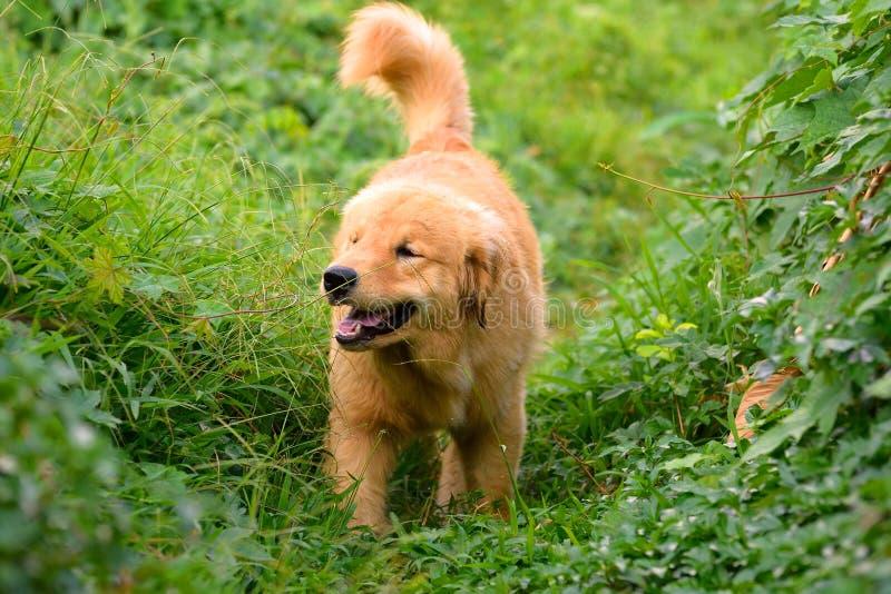 Golden retrieverpuppy lopen openlucht op het gras stock afbeelding
